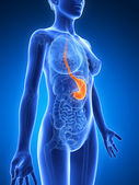Stomaco femmina — Foto Stock