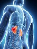 Mężczyzna nerki - rak — Zdjęcie stockowe