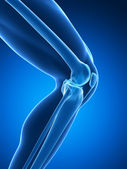 Knee anatomy — Stock Photo