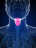 The male larynx — Stock Photo