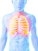 The male lung — Stock Photo