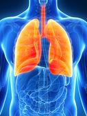 Erkek akciğer — Stok fotoğraf