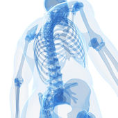 Male skeleton — Stock Photo