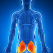 Illustration - gluteus maximus - Stock Photo