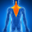 Illustration - trapezius - Stock Photo