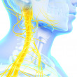 Stock Photo: Spinal cord and upper nerves