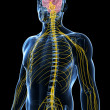 Male nerve system - Stock Photo