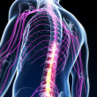 Stock Photo: Spinal cord