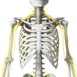 Nerves and skeleton - Stock Photo