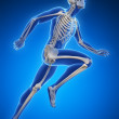 Runner anatomy on a blue background - Stock fotografie