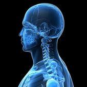 Male skeleton — Stock Photo