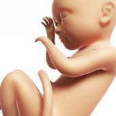 图-人类胎儿 8 个月 — 图库照片