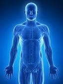 图-男性肌肉 — 图库照片