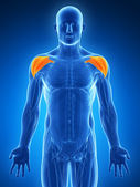 Muscles de l'épaule — Photo