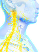 Spinal cord and upper nerves — Stock Photo