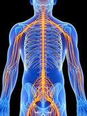 Erkek sinir sistemi — Stok fotoğraf