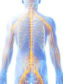 Male nerve system — Stock Photo