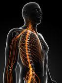 мужчины нервной системы — Стоковое фото