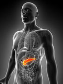 Male pancreas — Foto Stock