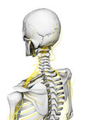 Nerves and skeleton — Stock Photo