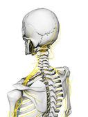 Nerves and skeleton — Stock Photo