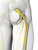 Sciatic nerve — Stock Photo