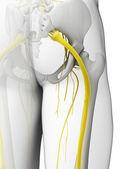 Sciatic nerve — Stock Photo