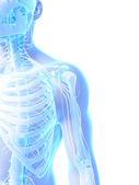 человеческий скелет плечо — Стоковое фото