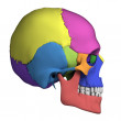 Human skull anatomy — Stock Photo #21071459