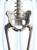 мужской скелетон. таза — Стоковое фото