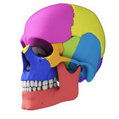 Human skull anatomy — Stock Photo