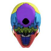 Human skull anatomy — Stock Photo