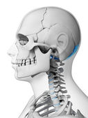 Occipital bone — Stock Photo