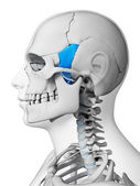 Sphenoid bone — Stock Photo