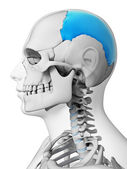 Parietal bone — Stock Photo