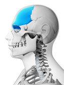 Frontal bone — Stock Photo