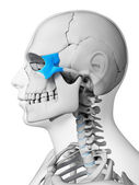 Zygomatic bone — Stock Photo