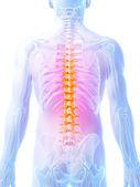 人体脊柱. — 图库照片