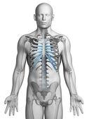 Skeletal thorax — Stock Photo