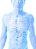 мужской анатомии — Стоковое фото