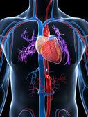人体血管系统 — 图库照片