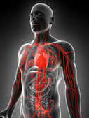 Vascular system of the human — Stock Photo