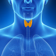 Illustration of the thyroid gland — Stock Photo