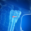 Illustration of the larynx anatomy vocal chords — Stock Photo