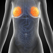 Illustration of the female mammary glands — Stock Photo