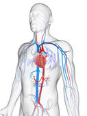 Male vascular system — Stock Photo