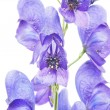 Aconitum napellus on a white background - Stock Photo