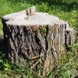 Freshly sawed big fir tree stump in spring forest — Stock Photo
