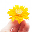 Marigold flower on a white background — Stock Photo