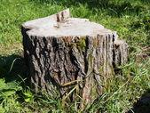 Taze bahar orman büyük çam ağaç kütüğü testereyle — Stok fotoğraf